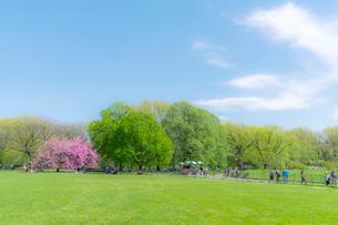 セントラルパーク グレートローン新緑の中に咲く桜の木の写真素材 [FYI01570094]