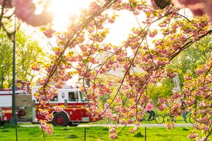 夕日に輝く桜とパークロードを走る消防車の写真素材 [FYI01570134]