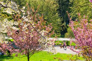 セントラルパーク満開の八重桜と新緑の木々の間の小道を歩く女性と犬。の写真素材 [FYI01570178]