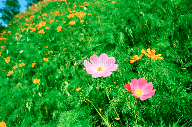 花畑の写真素材 [FYI01570499]