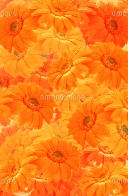 花イメージ オレンジの写真素材 [FYI01570573]