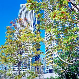 クロガネモチの街路樹が植えられた新しい高層マンション街の写真素材 [FYI01570916]
