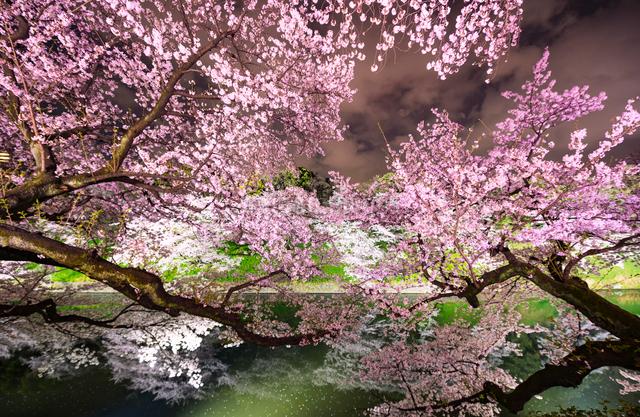 お堀に映る満開の千鳥ヶ淵の夜桜の写真素材 [FYI01570959]