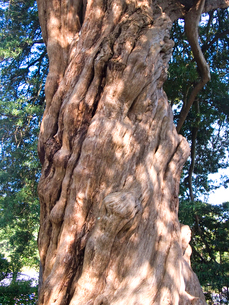 イヌマキの大木の写真素材 [FYI01571071]