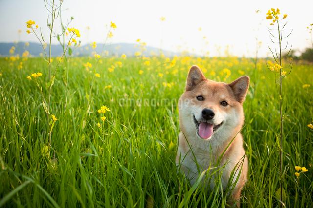 菜の花畑と柴犬の写真素材 [FYI01571098]