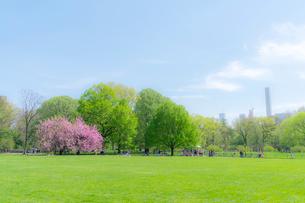 セントラルパーク グレートローン新緑の中に咲く桜の木の写真素材 [FYI01571170]