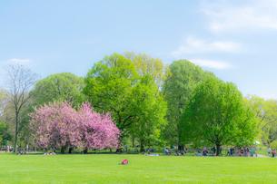セントラルパーク グレートローン新緑の中に咲く桜の木の写真素材 [FYI01572061]
