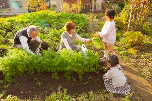 家庭菜園で野菜をとる祖父母と孫の写真素材 [FYI01572931]