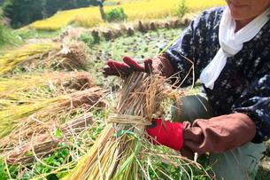 稲を束ねる女性の写真素材 [FYI01573111]
