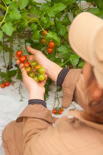 ミニトマトを収穫する男性の写真素材 [FYI01573218]