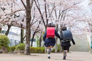 桜並木を走る小学1年生の男女の写真素材 [FYI01573288]
