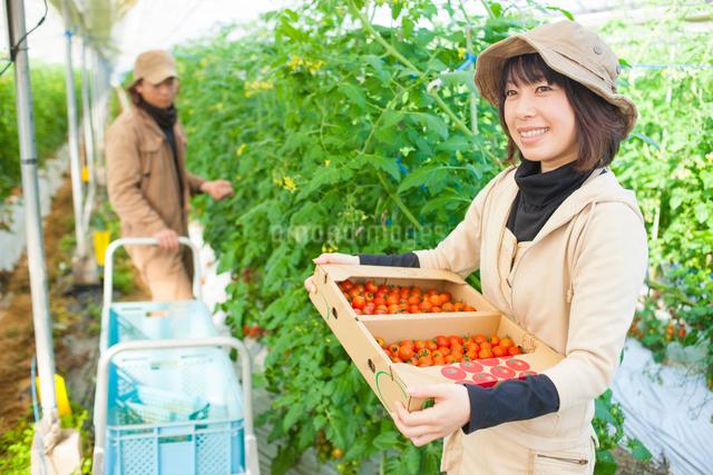 ミニトマトを持つ女性と収穫する男性の写真素材 [FYI01573290]