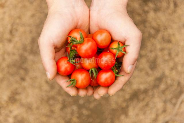 ミニトマトを持つ手のアップの写真素材 [FYI01573382]