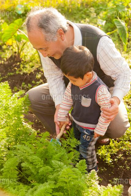 家庭菜園で野菜をとる祖父と孫の写真素材 [FYI01573435]
