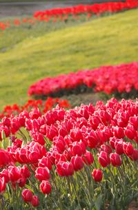 チューリップの群生と芝生の写真素材 [FYI01573610]