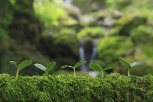 木に生えるコケと双葉の写真素材 [FYI01573703]