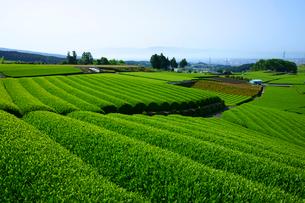 茶畑の写真素材 [FYI01573831]