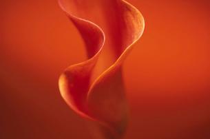 花(カラー)の写真素材 [FYI01574074]