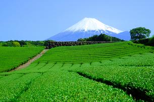 茶畑と富士山の写真素材 [FYI01574117]