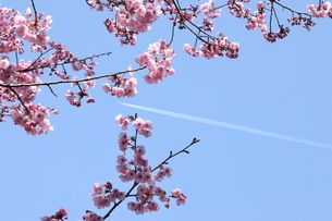 サクラと青空と飛行機雲の写真素材 [FYI01574438]