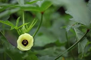 オクラの花の写真素材 [FYI01574727]