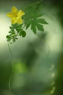 ゴウヤの花の写真素材 [FYI01574771]