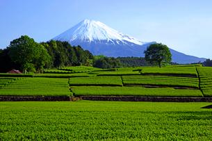 茶畑と富士山の写真素材 [FYI01575151]