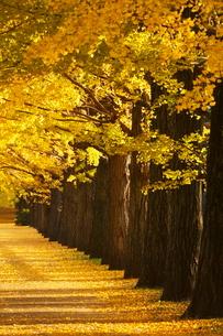 黄葉した木と落葉の写真素材 [FYI01576915]