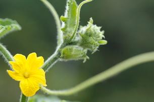 キュウリの花の写真素材 [FYI01576931]