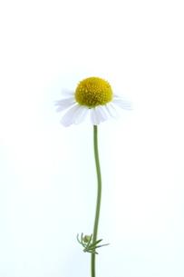 カモミールの写真素材 [FYI01578198]