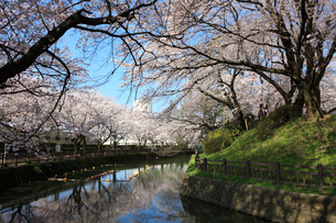 城之内公園の堀と桜の写真素材 [FYI01580613]
