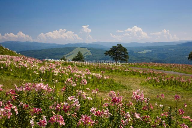ゆりの花 ダイナランドゆり園の写真素材 [FYI01582065]