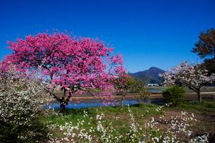菊桃の花咲く田園の写真素材 [FYI01583051]