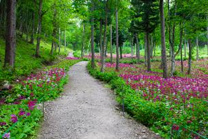 クリンソウの咲く道の写真素材 [FYI01583397]
