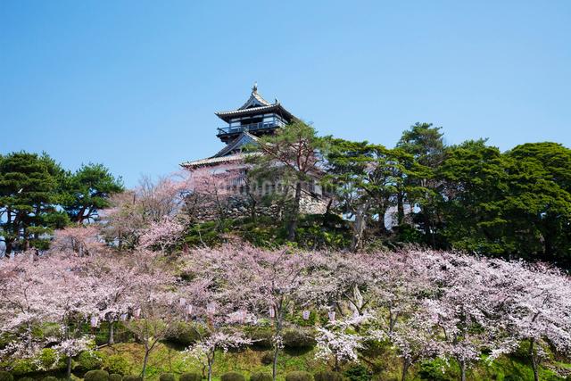 丸岡城と桜の写真素材 [FYI01583690]