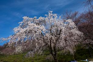 西山公園 桜の写真素材 [FYI01583830]