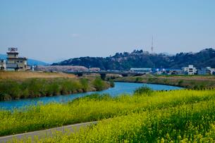 菜の花と桜 足羽川の写真素材 [FYI01583884]