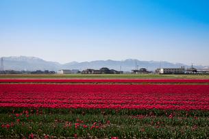 チューリップ畑の写真素材 [FYI01583899]