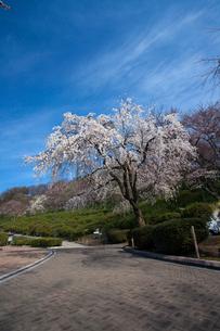 西山公園 桜の写真素材 [FYI01583939]