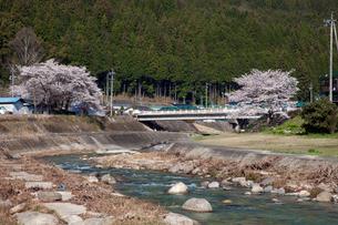 川上川と桜の写真素材 [FYI01584219]