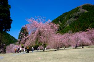 竹田のしだれ桜の写真素材 [FYI01584298]