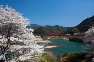 飛騨川と桜の写真素材 [FYI01584407]