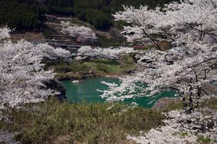 飛騨川と桜の写真素材 [FYI01584422]