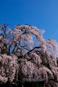 妙祐寺のしだれ桜の写真素材 [FYI01584434]