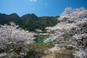 飛騨川と桜の写真素材 [FYI01584597]