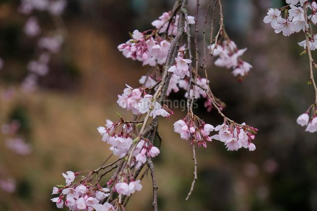妙祐寺のしだれ桜の写真素材 [FYI01584630]