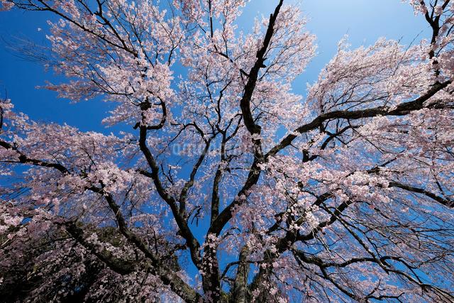 妙祐寺のしだれ桜の写真素材 [FYI01584769]