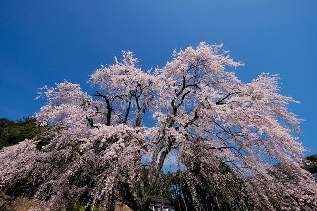 妙祐寺のしだれ桜の写真素材 [FYI01584961]