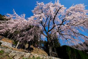 妙祐寺のしだれ桜の写真素材 [FYI01585002]