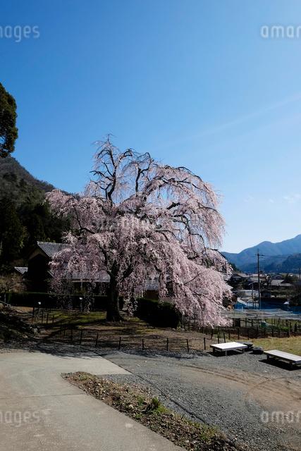 妙祐寺のしだれ桜の写真素材 [FYI01585006]